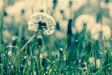 beauty of dandelions