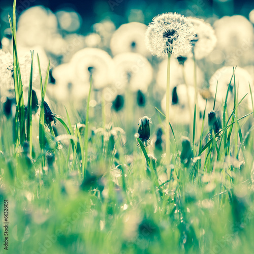beauty of dandelions - 66326051