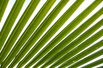 Coconut palm tree leaf on white background