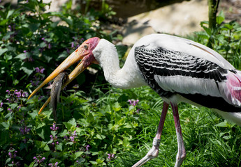 Painted stork fishing