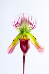 Paphiopedilum callosum (Rchb.f.)