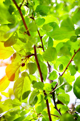 Beautiful spring green apple leaves glowing in sunlight
