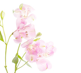 Dainty  rosy  flowers isolated on white.  Alstroemeria