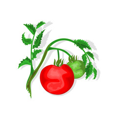 Tomatoes with leaf vector illustration without gradients