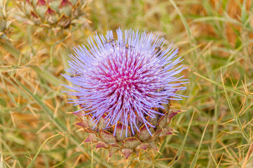 thistle flower in a dry sown, prickly atmosphere