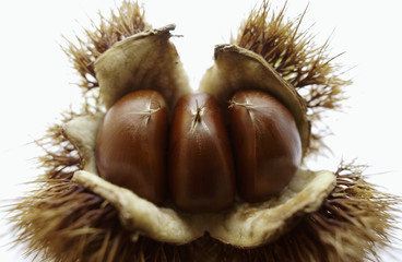 Close Up Image of Chestnut