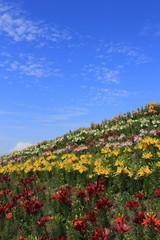 Lily garden in Maishima island in Osaka, Japan