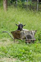 goat in a wheel barrow