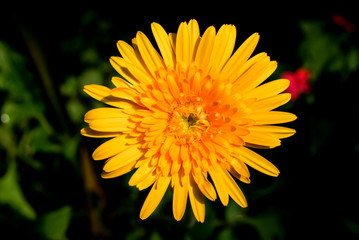 Macro Shot of Yellow Gerbera Flower Background