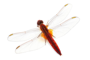 Scarlet Dragonfly (Crocothemis erythraea) isolated on white