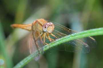 Female of Scarlet Dragonfly. Macro