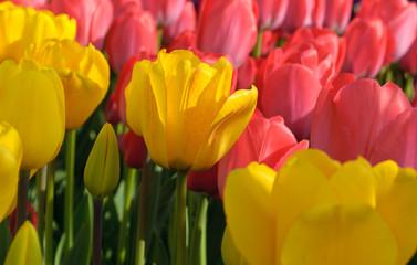 Tulip, 튤립