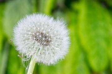 fragile dandelion
