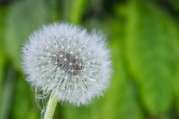 beautiful dandelion in spring