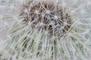 macro  dandelion in spring
