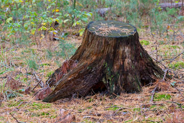 old stump in needle forest