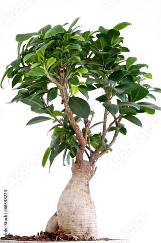 Fotobehang Bonsai Ficus Ginseng Bonsai
