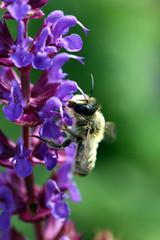 Biene holt sich Nektar Sommerflieder