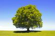 canvas print picture - Baum Buche als Einzelbaum
