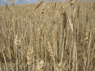 Колосья зрелой пшеницы