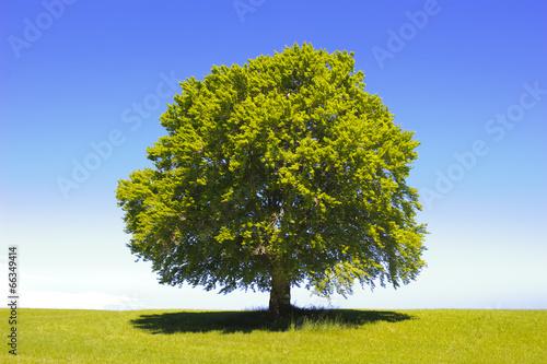canvas print picture Baum Buche als Einzelbaum