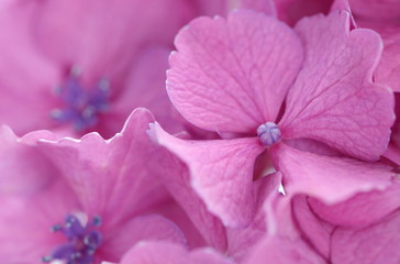 close - up beautiful pink hydrangea flower