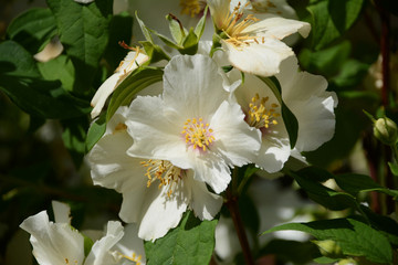 White Mock Orange flowers