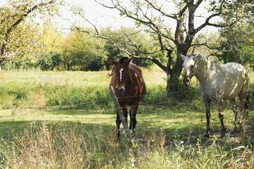 caballos en la sombra  de los árboles