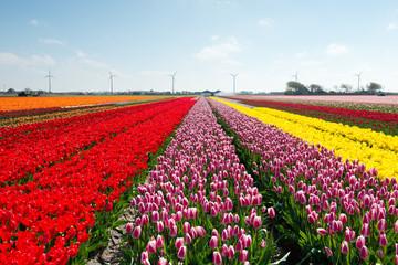 Blue sky and tulip field