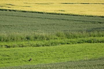 Feldhase zwischen Kornfeldern