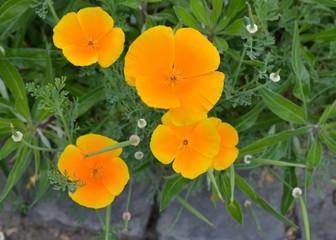 Goldmohnblumen - Blüten mit Textfreiraum