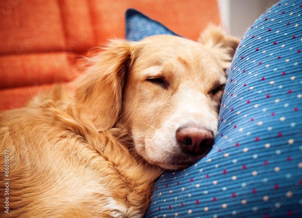 Pies na poduszcze - powiększenie