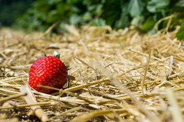 Erdbeere auf Stroh im Erdbeerland