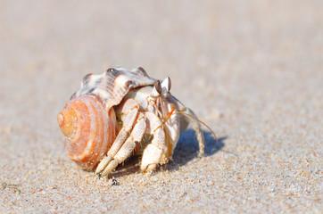 Рак-отшельник на песке на острове Сокотра
