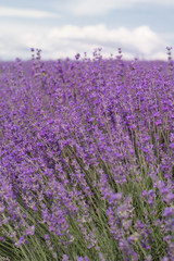 Purple field of lavender flowers