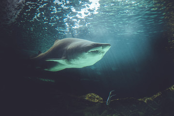 dangerous and powerful shark swimming under water