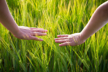 kid hands with wheat ears