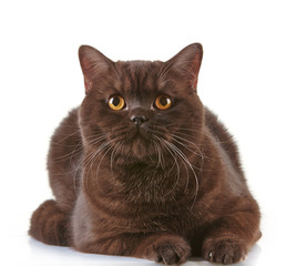 brown british short hair cat