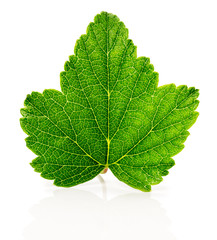 currant leaf on the white background
