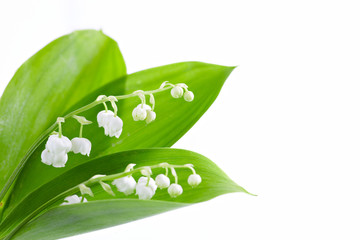Lily of valley b