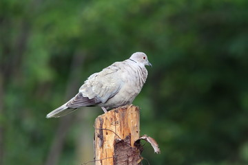 eurasian collared dove standing on stump