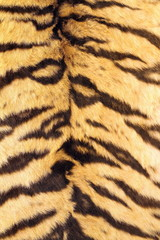 natural real model of tiger stripes