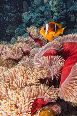 Clown fish in the red and brown anemone