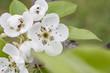 Fruit tree blossom close-up.