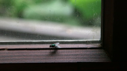 Fat fly against a dirty window pane