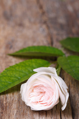 Beautiful pale pink rose on wooden board vertical