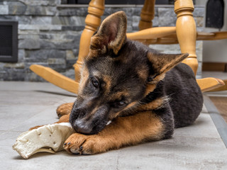 German shepherd puppy playing