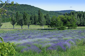 Lavender field in Hungary