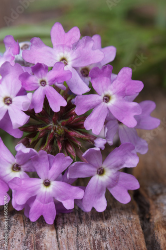 Deurstickers Lilac purple flowers verbena on the table macro vertical