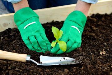 Close-up hands in gloves planting sprout